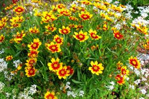 Vienmetės darželio gėlės